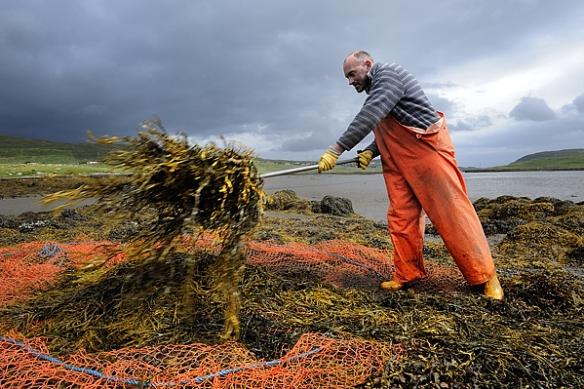 seaweed-harvest