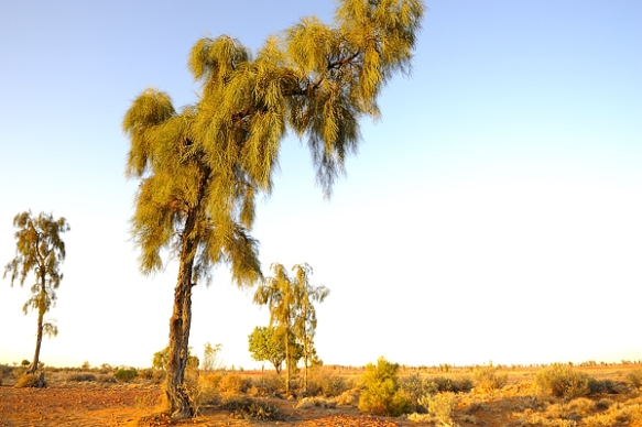 Waddi-tree-Birdsville