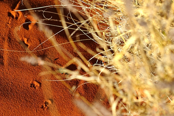 dunnart-tracks-desert