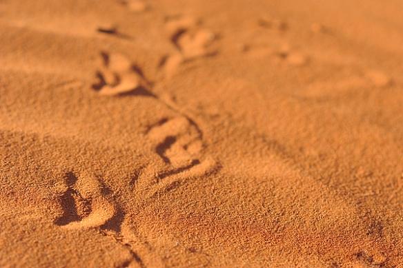 tracks-goanna-desert-australia